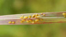 Yellow Sugarcane Aphid Detected in Spain