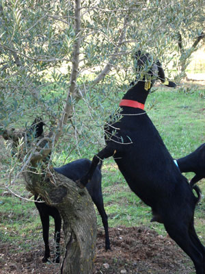 Selective grazing in cultivations of woody plants