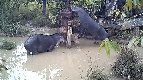 Povos indígenas da Amazônia caçam animais que se alimentam em áreas contaminadas com hidrocarbonetos e metais pesados