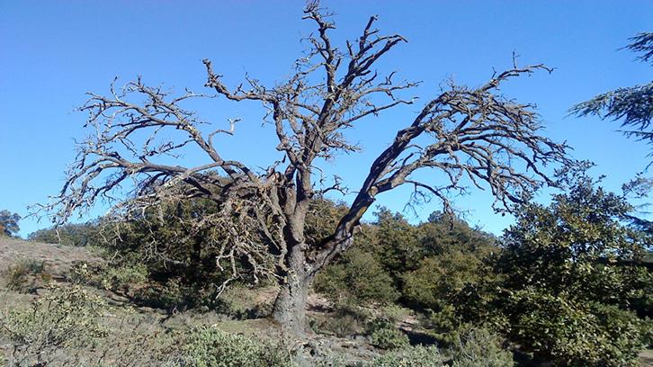 Quercus mort